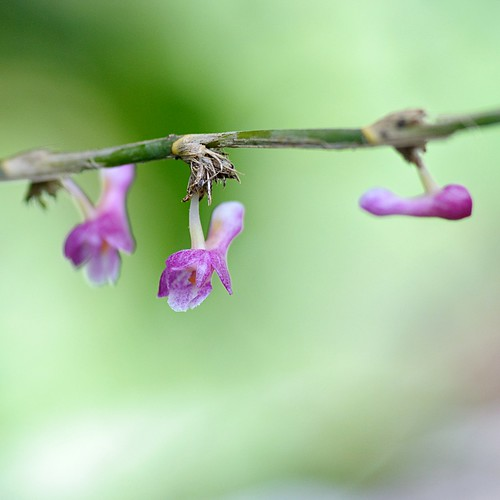 the pink spotted dendrobium , dendrobium rosellum.