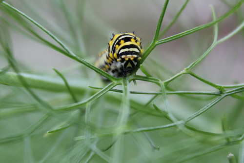 20120509. Fennel-loving caterpillar.