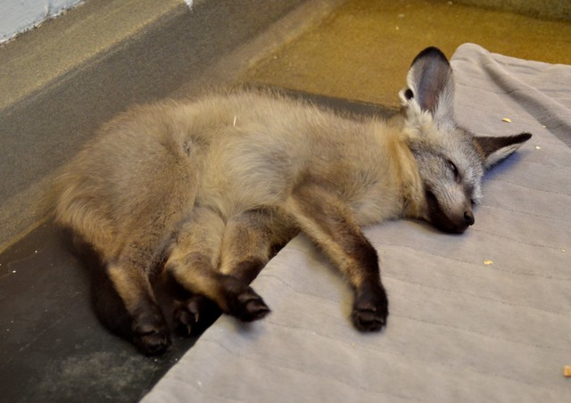Baby Bat-Eared Fox