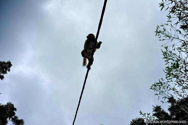 Monkey walking on wire