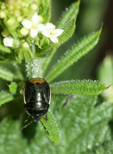 Bordered shieldbug (Legnotus limbosus)