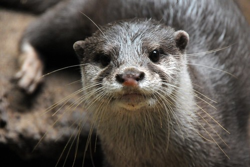 closeup of a river otter's face. The otter is looking directly into the camera witha  concerned expression.