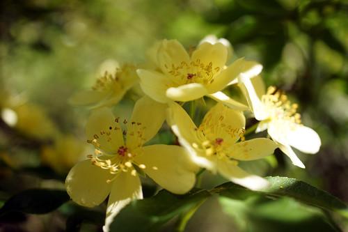 Rose Rosa banksiae var. lutescens バラ ロサ・バンクシアエ ルテスケンス