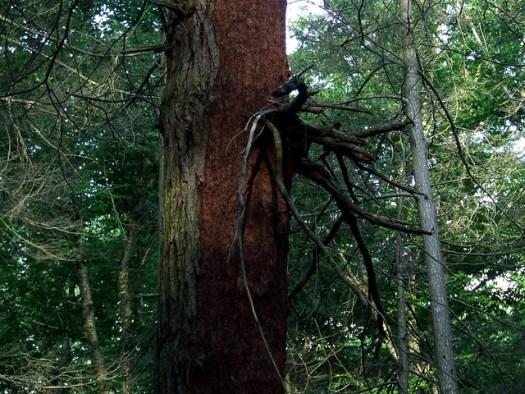 dead hemlock branch cluster