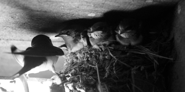 Barn Swallows 2