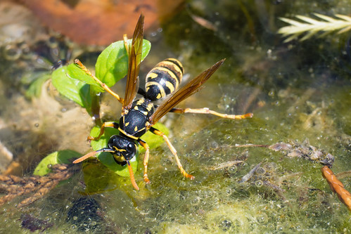 Thirsty Wasp