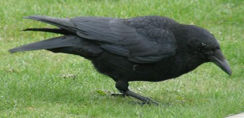 Miro crow