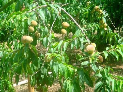 水蜜桃10