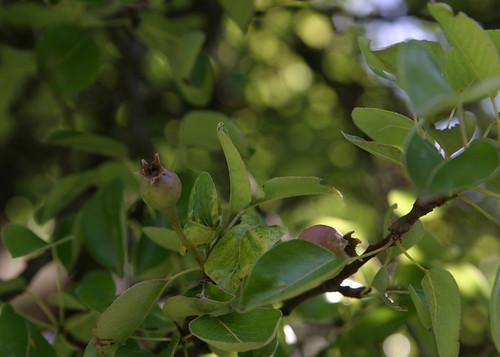 Pear babies