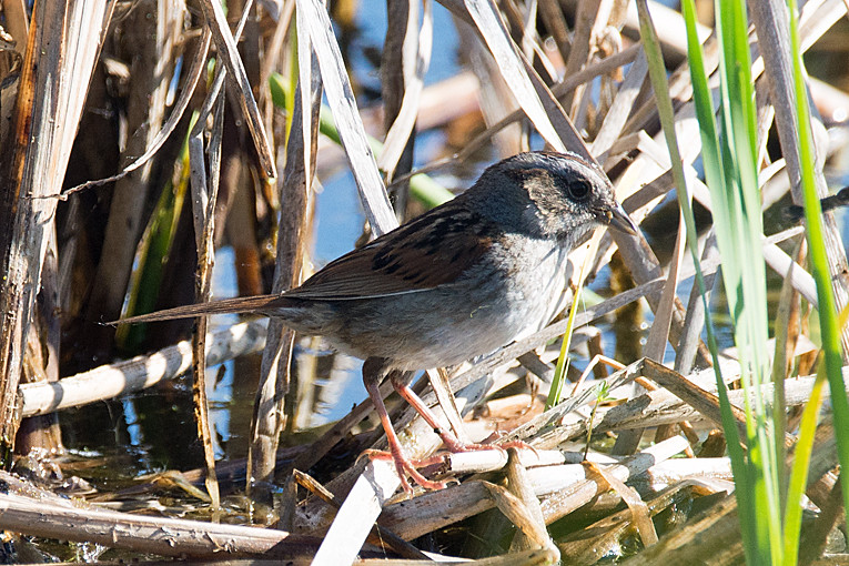_DSC0898 Swamp Sparrow