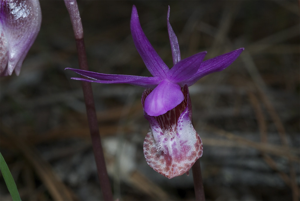 Fairyslipper, Calypso Orchid
