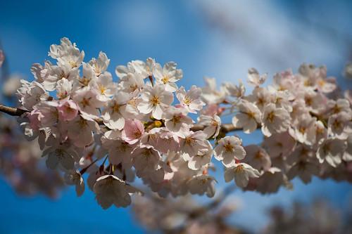 High Park Sakura Project.