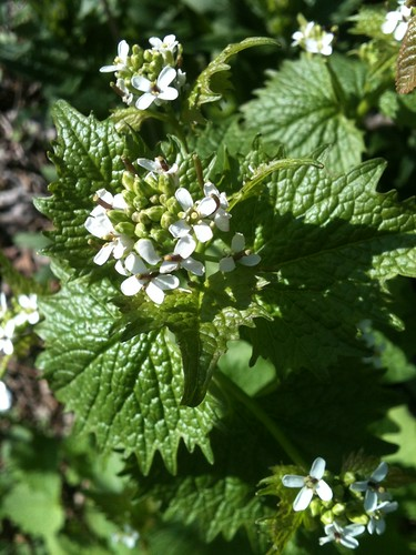 Pic of the day - Garlic Mustard, Maybe?