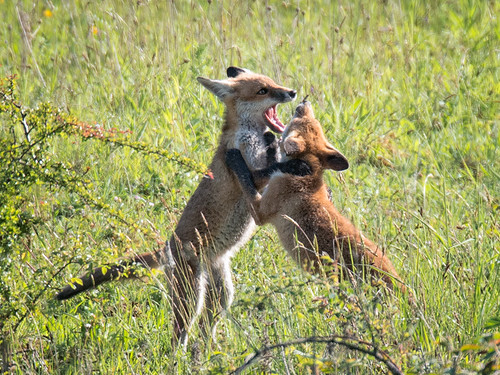 Fox cubs-fighting