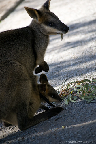wallaby + hitch hiker by gomagoti