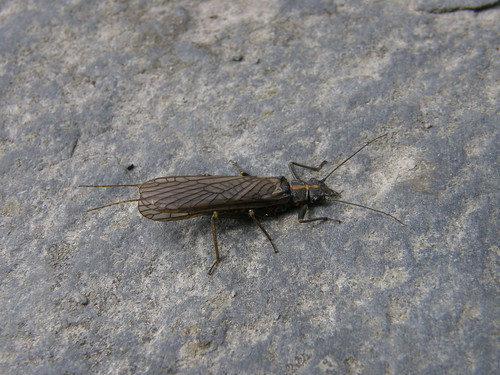 A stonefly - probably an adult female Perlodes microcephala