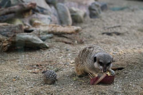 Meerkats (nom nom nom)