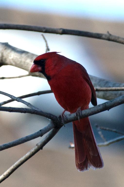 _DSC7795 Northern Cardinal