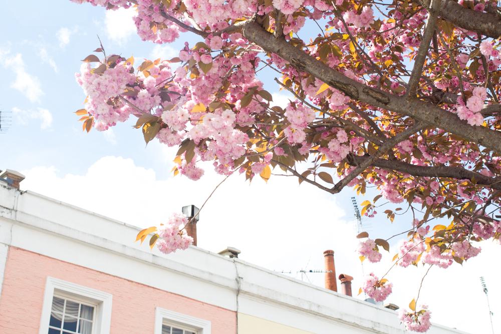 2 cherry blossom