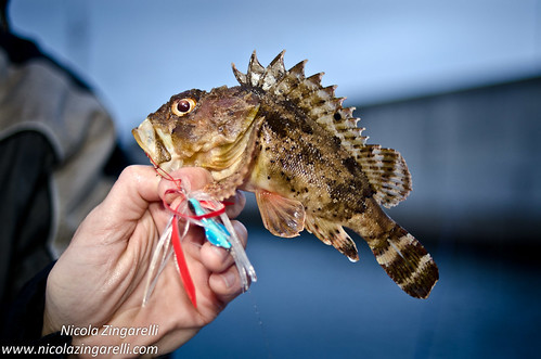 Black Scorpionfish (Scorpaena porcus) caught with a lure. The off camera flash provides the light