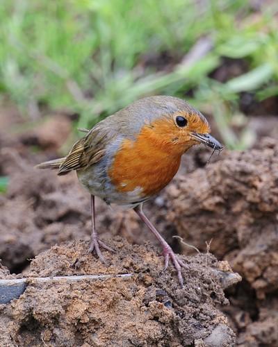 Robin - 10th June 2012 - Day 11