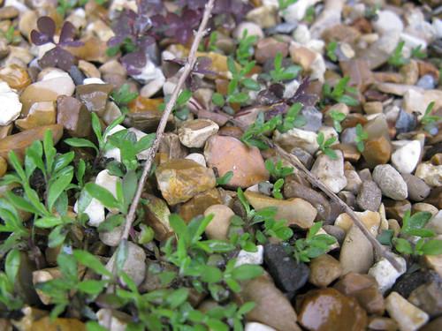 Self-seeded Imperial Gem lavender