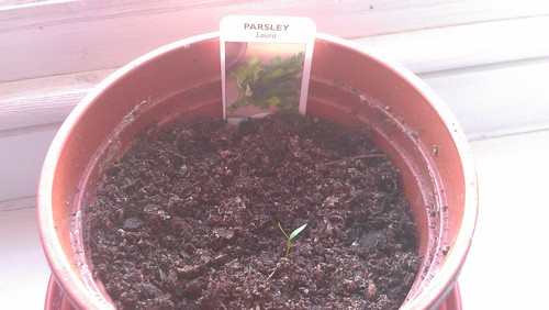 Parsley 'Laura'