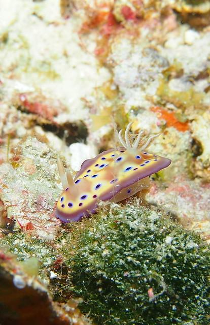 Wakatobi: Nudibranchs (4/6)