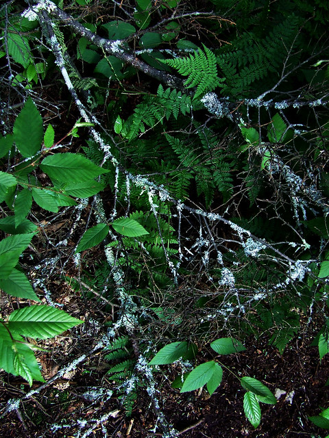 lichens on dead hemlock branch