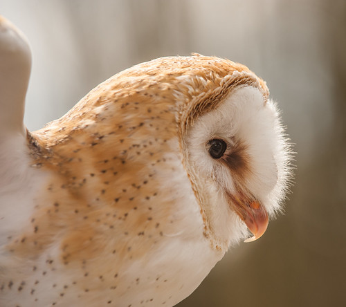 Barn Owl in profile