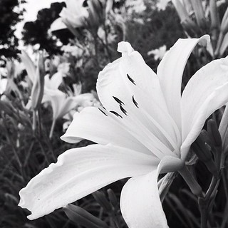 Day lilies #photoadaymay #somethingbeautiful