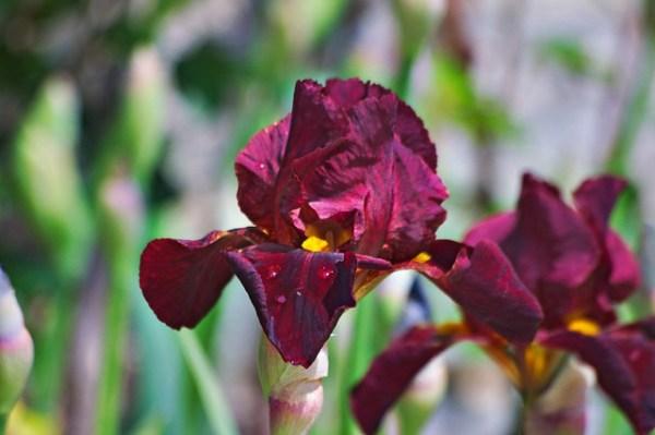 Iris sang et jaune