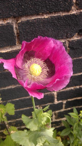 Common Garden Poppy