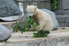Eisbärin Anori im Zoo Wuppertal
