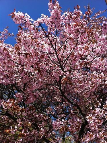Kirsikkapuu by niini
