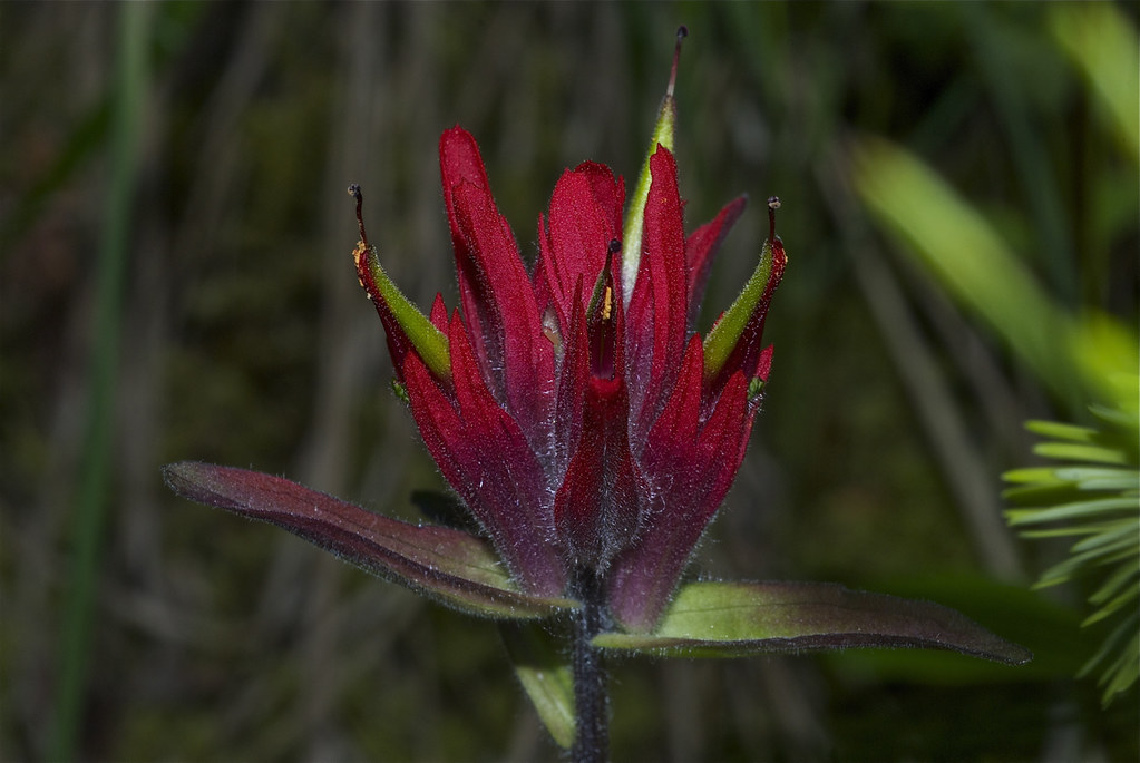 Scarlet Indian Paintbrush, Common Red Paintbrush