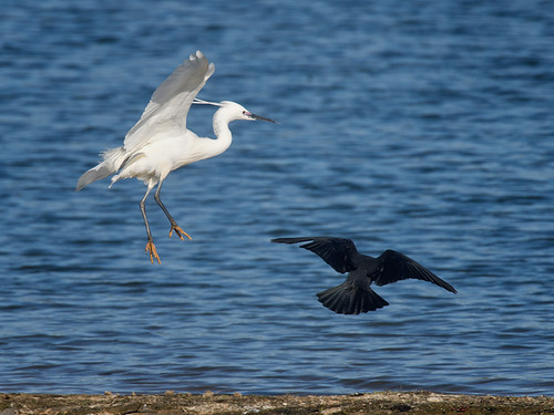 Little Egret and Crow