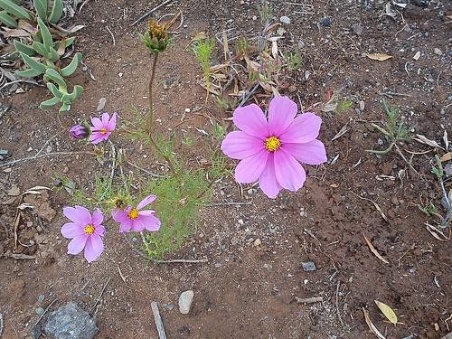 pink flowers by SoulRiser