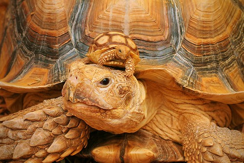 Two Sulcata Tortoises
