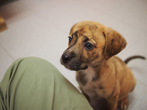 Hound mix Puppies