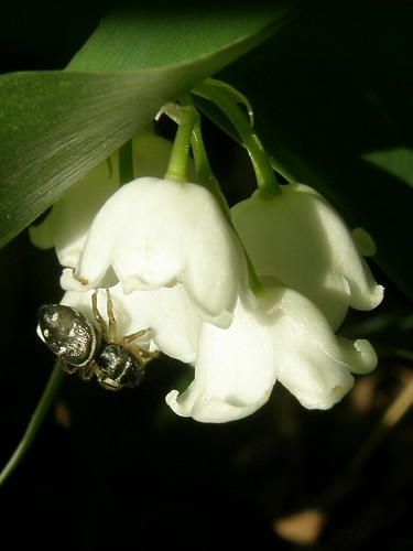 Spider on lily-of-the-valley