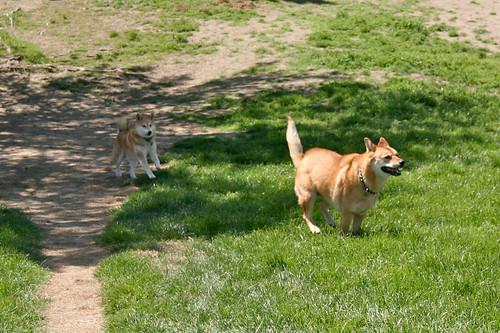 Shiba chases Jindo