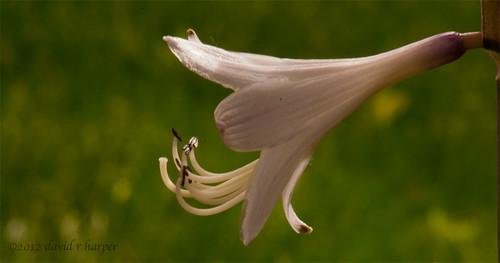 06.17.2012 :: 366/169 ...::... Hosta Flower by Echo9er