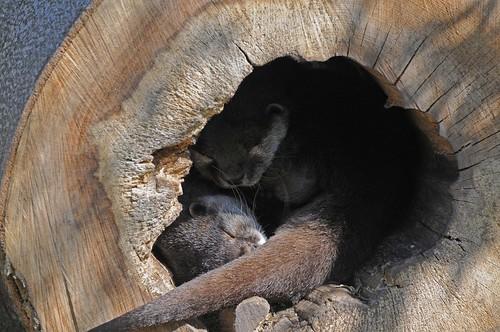 Zwergotter im Zoo in der Wingst