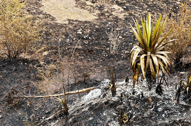 A Cactus Plant manages to survive the onslaught of the fire but another one standstotally destroyed in the fire ravaged hillside - More Fires in the Himalayas - Dagshai HIlls photo photography Anoop Negi
