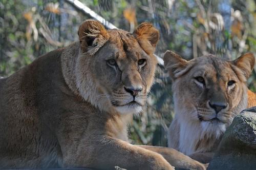 Afrikanische Löwinnen Kibibi und Azana im Zoo in der Wingst