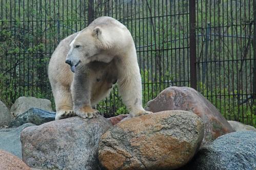 Eisbärin Malik im Zoo Aalborg