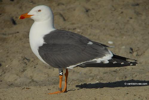 Lesser Black-backed Gull, (L.f. graellsii), 13cy, N[8+]