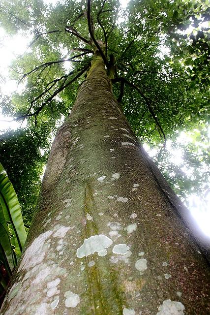 Aquilaria Malaccensis Lam Flickr Photo Sharing
