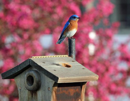 04/04/12 - Male Bluebird